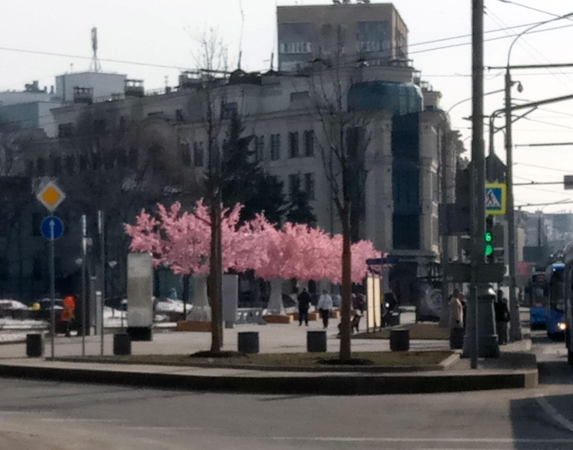 Цветение сакуры вМоскве?!
